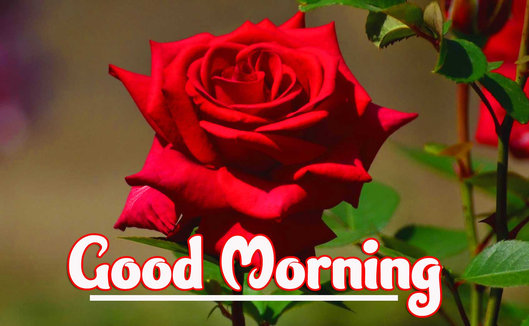 Beautiful Red Rose Good Morning Photos For girlfriend