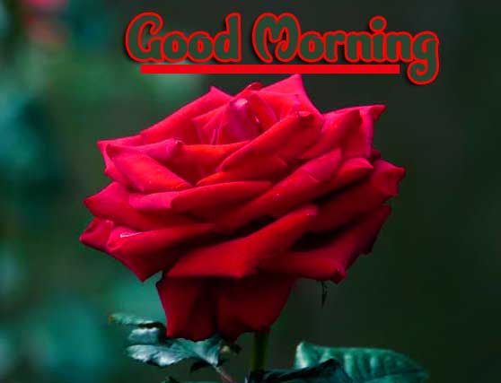 Red Rose Good Morning Photos Pics for Whatsapp