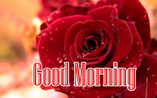 Beautiful for Girlfriend Red Rose Good Morning Pics for Facebook / Whatsapp