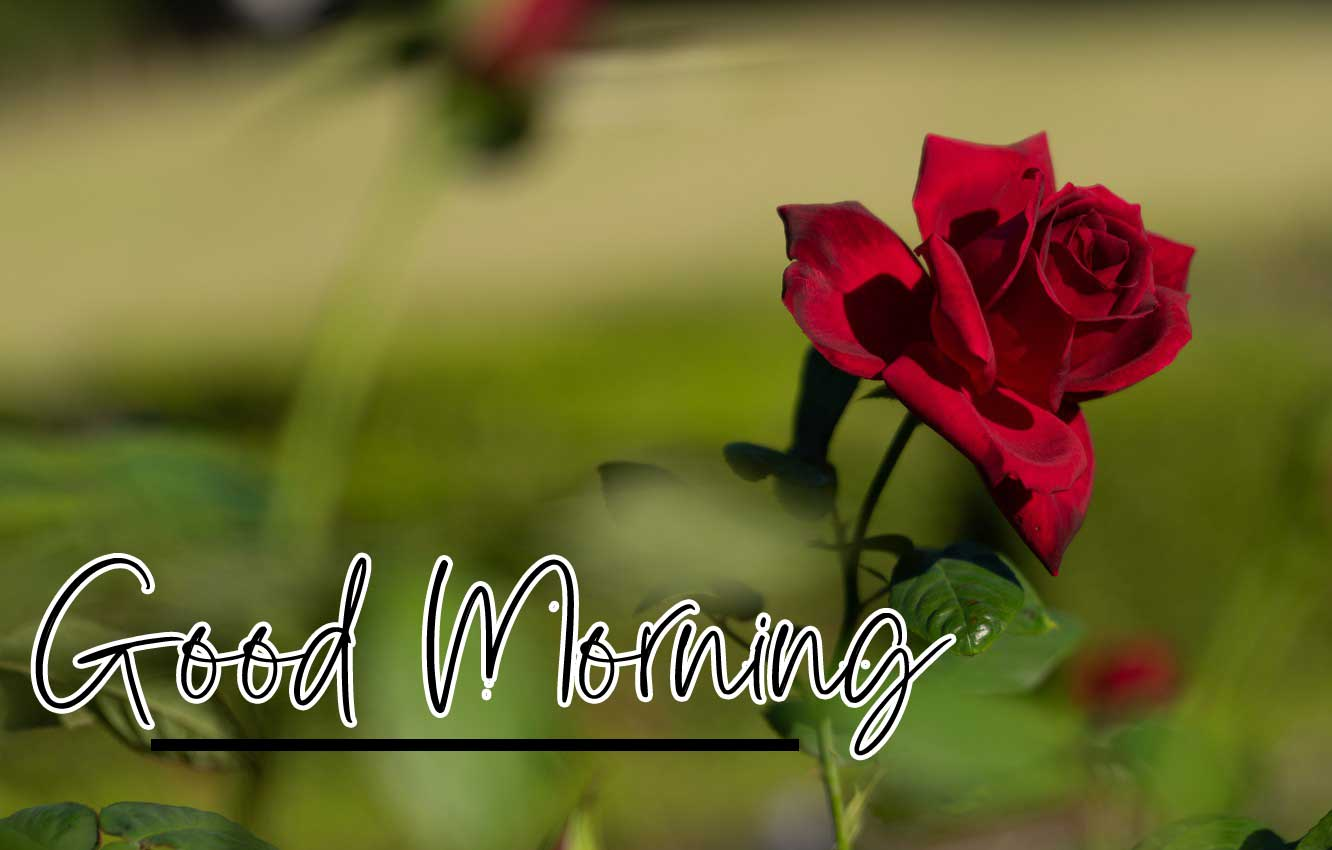 Beautiful for Girlfriend Red Rose Good Morning Pics Download