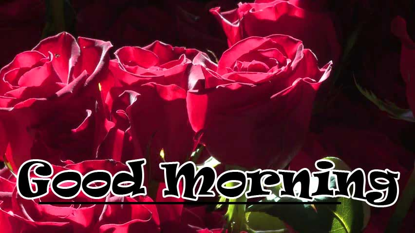 Free New Beautiful for Girlfriend Red Rose Good Morning Pics Wallpaper Download