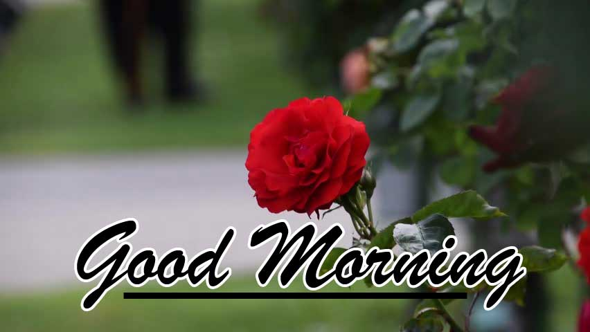 Beautiful for Girlfriend Red Rose Good Morning Pics Pictures Download