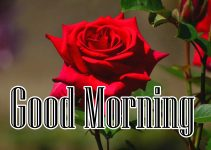 Red Rose Good Morning Photos 69