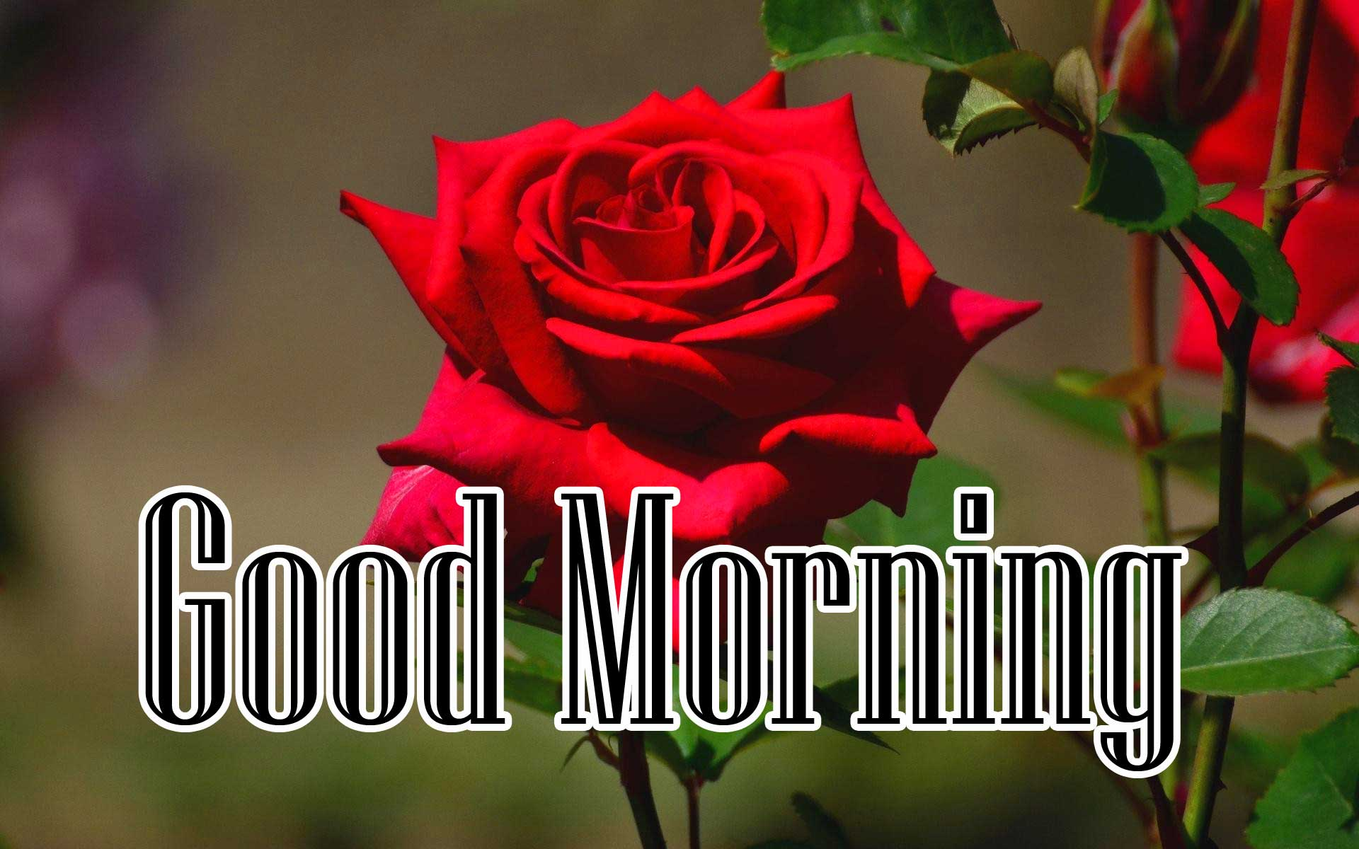 Beautiful for Girlfriend Red Rose Good Morning Wallpaper Latest Download Free