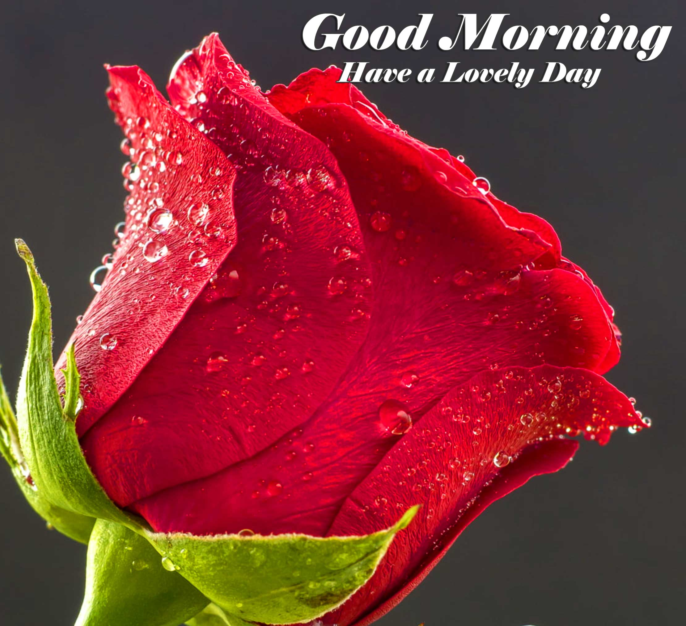 Beautiful for Girlfriend Red Rose Good Morning Pictures for facebook / Whatsapp