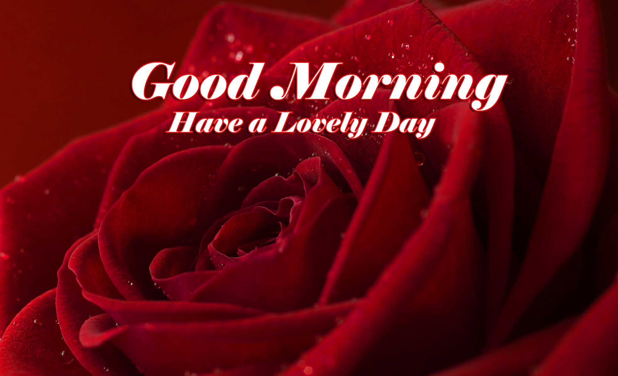 Beautiful for Girlfriend Red Rose Good Morning Wallpaper Free Download