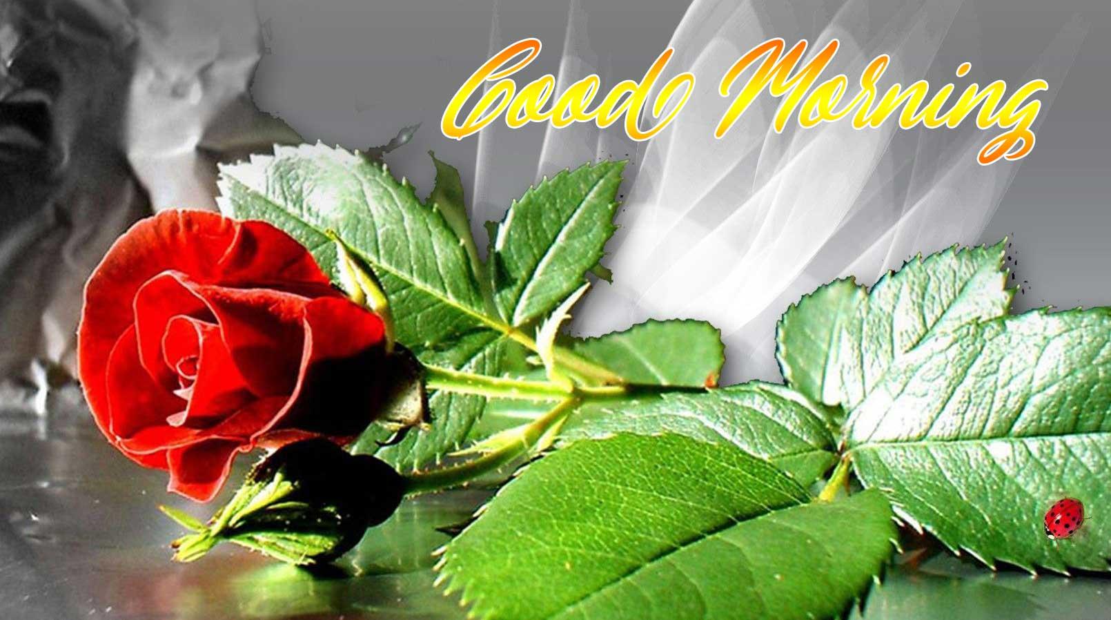 Best New Beautiful for Girlfriend Red Rose Good Morning Pic Download