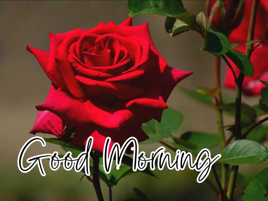Beautiful for Girlfriend Red Rose Good Morning Wallpaper New Download