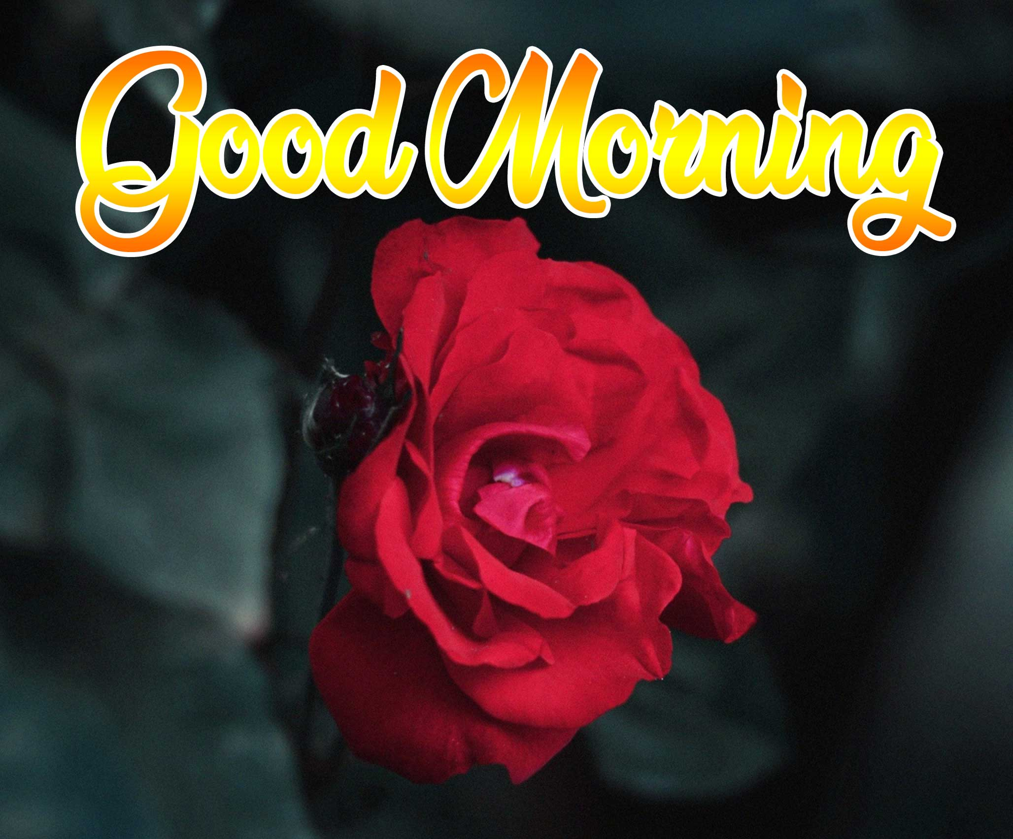 Beautiful for Girlfriend Red Rose Good Morning Pics HD Download