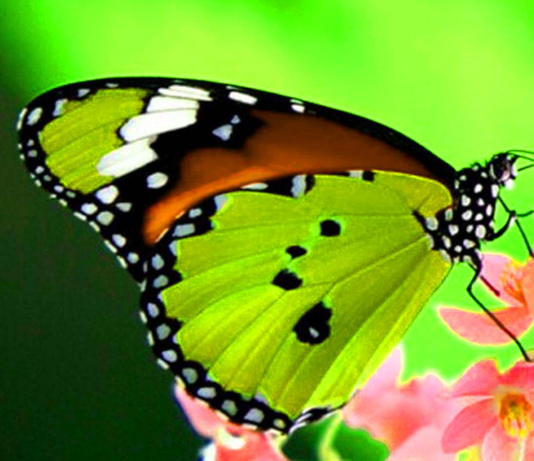 Best Butterfly Whatsapp Dp Pics