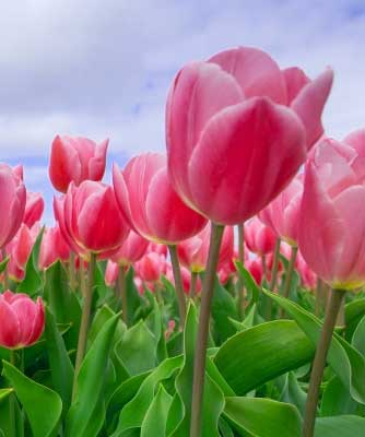 Best Flower For ProFile Images Pics