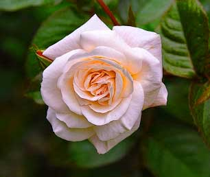 Best Flower For ProFile Pics Free