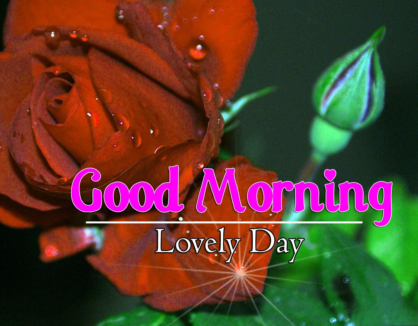 Free Rose Best Flower 4k Good Morning Images Download