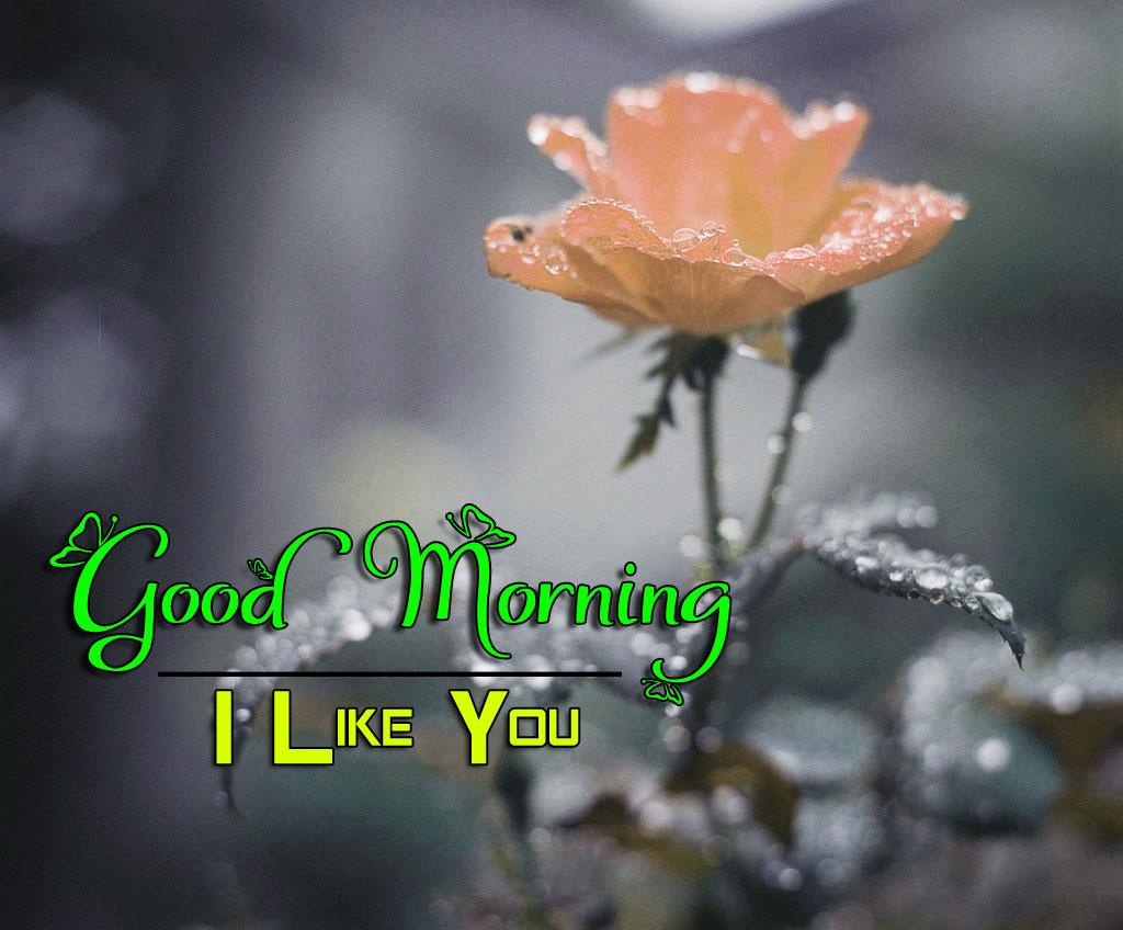 Free Rose Good Morning Wishes 4k Pics Wallpaper Free