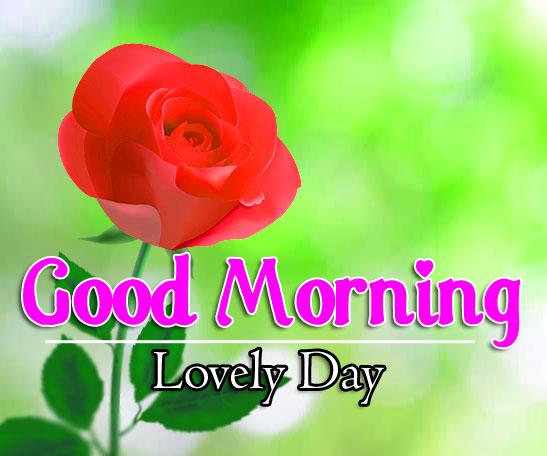 Rose Free Flower 4k Good Morning Pics Images Free