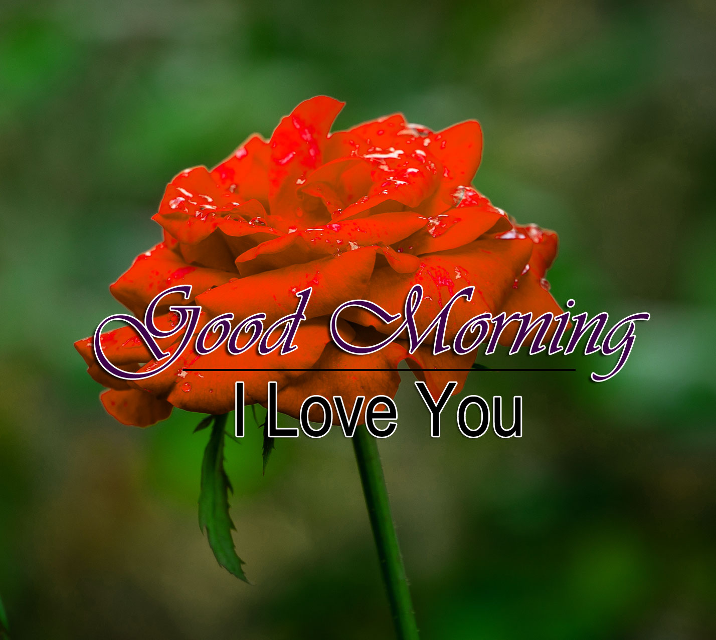 Rose New Good Morning Images Download
