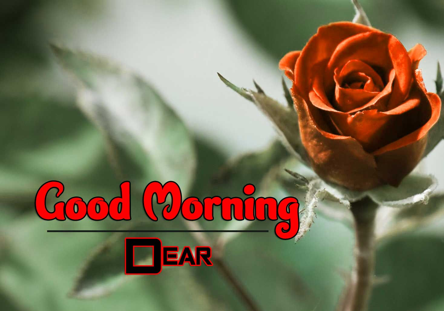 With Rose Free Wonderful Good Morning 4k Pics Images