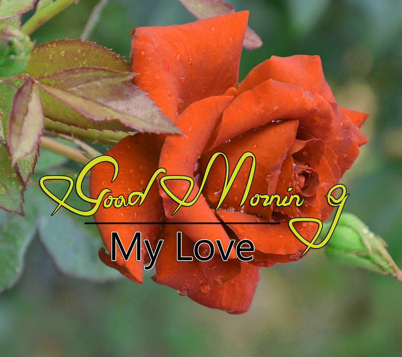 beautiful rose good morning images pics free download