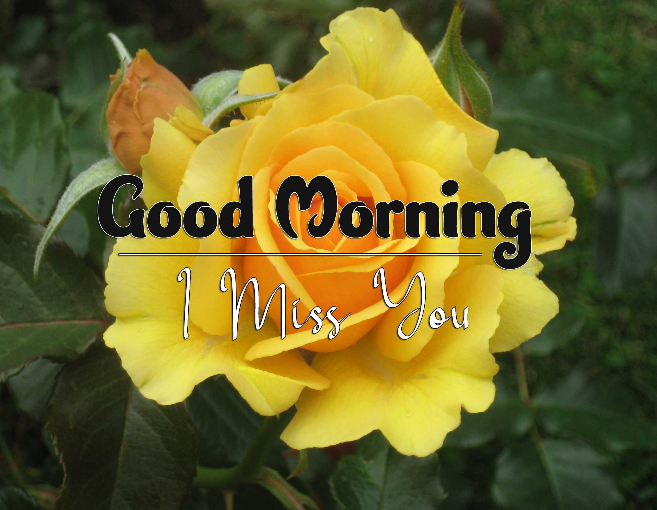 beautiful rose good morning images pics photo hd