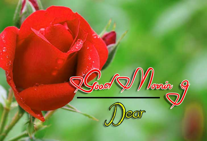 beautiful rose good morning images wallpaper for download