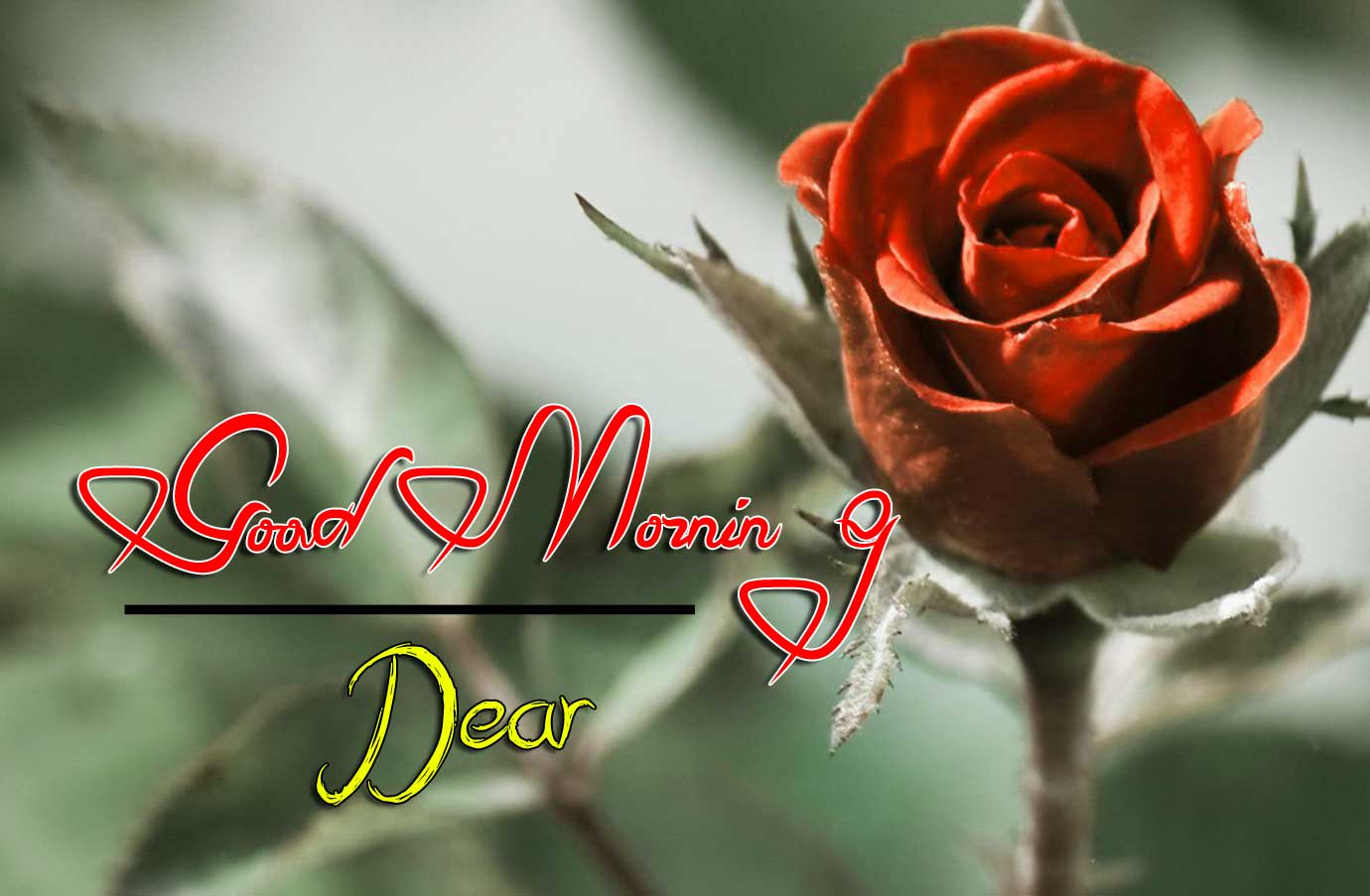 best rose good morning images pics hd