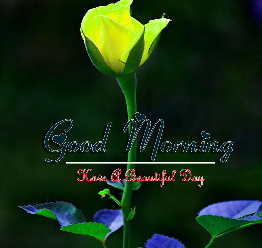 best rose good morning images pictures for download
