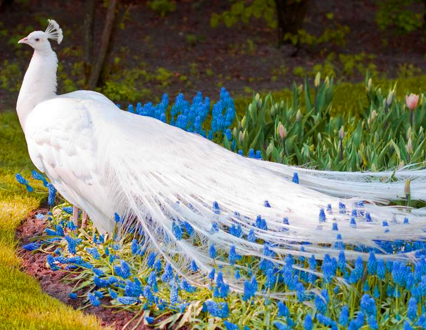 nature beautiful white peac