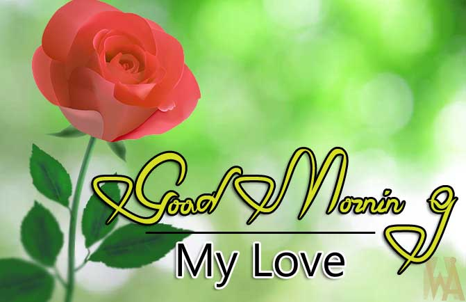 nice rose Good Morning Images pics download