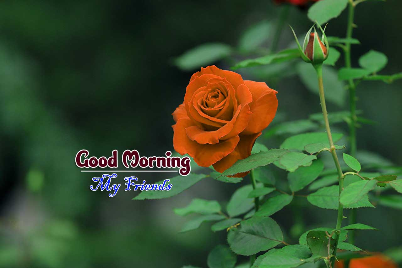 rose Good Morning Images photo for best friends