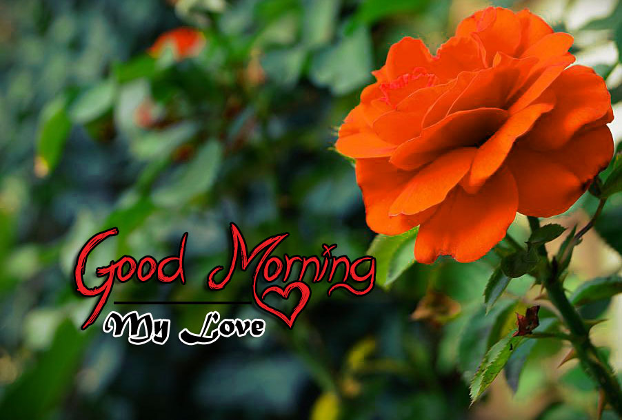 rose Good Morning Images pics hd