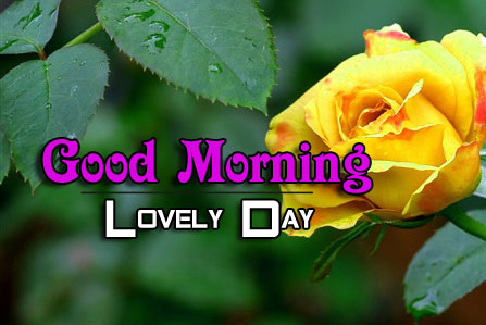 yellow rose Good Morning Images photo hd