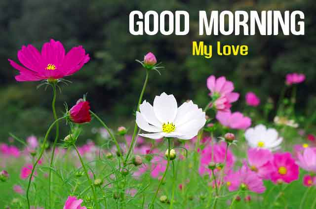 cosmos flower Good Morning hd download