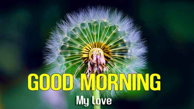 dandelion flower Good Morning hd download
