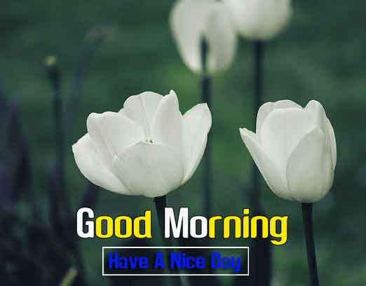 tulips white flower Good Morning hd download