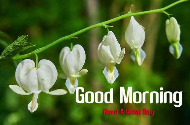 white bleeding heart flower Good Morning images