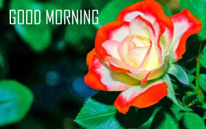 Red Rose Flower Good Morning Photo Pictures Download