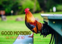 122+ Good Morning Rooster Pictures Photo Images Download