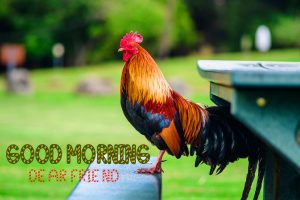 Good Morning Rooster Photo Free